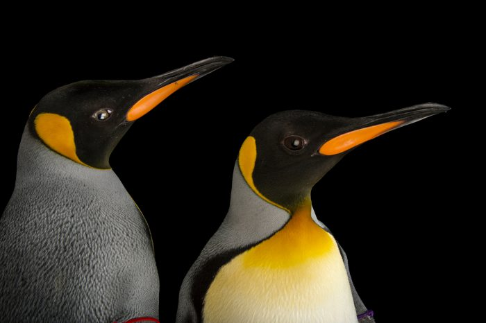 A pair of South Georgia king penguins, Aptenodytes patagonicus patagonicus.