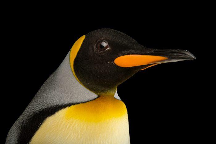 A South Georgia king penguins, Aptenodytes patagonicus patagonicus.