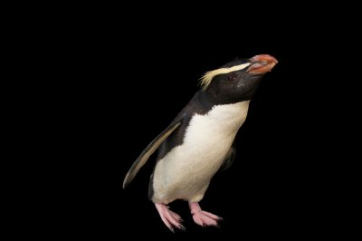Photo: A vulnerable Fiordland penguin (Eudyptes pachyrhynchus) Fiordland penguin at the Taronga Zoo.