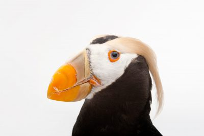 A tufted puffin (Fratercula cirrhata) at the Omaha Henry Doorly Zoo, in Omaha, Nebraska.