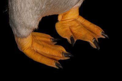The webbed feet of a gentoo penguin (Pygoscelis papua papua).