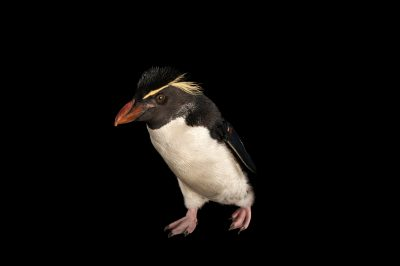 Picture of a vulnerable (IUCN) and federally threatened Southern rockhopper penguin (Eudyptes chrysocome chrysocome).
