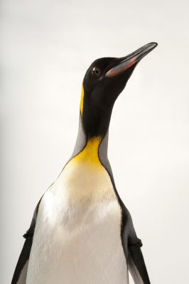 A king penguin (Aptenodytes patagonicus patagonicus) at the Omaha Zoo.