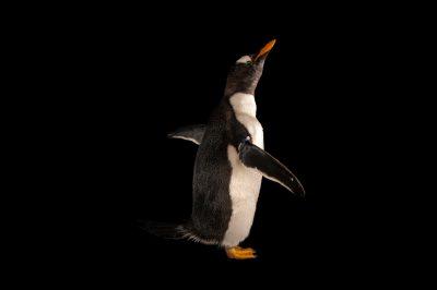 A gentoo penguin (Pygoscelis papua papua).