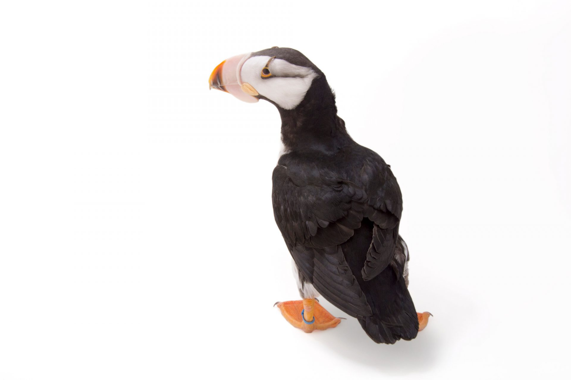 Picture of a horned puffin (Fratercula corniculata) at the Monterey Bay Aquarium.
