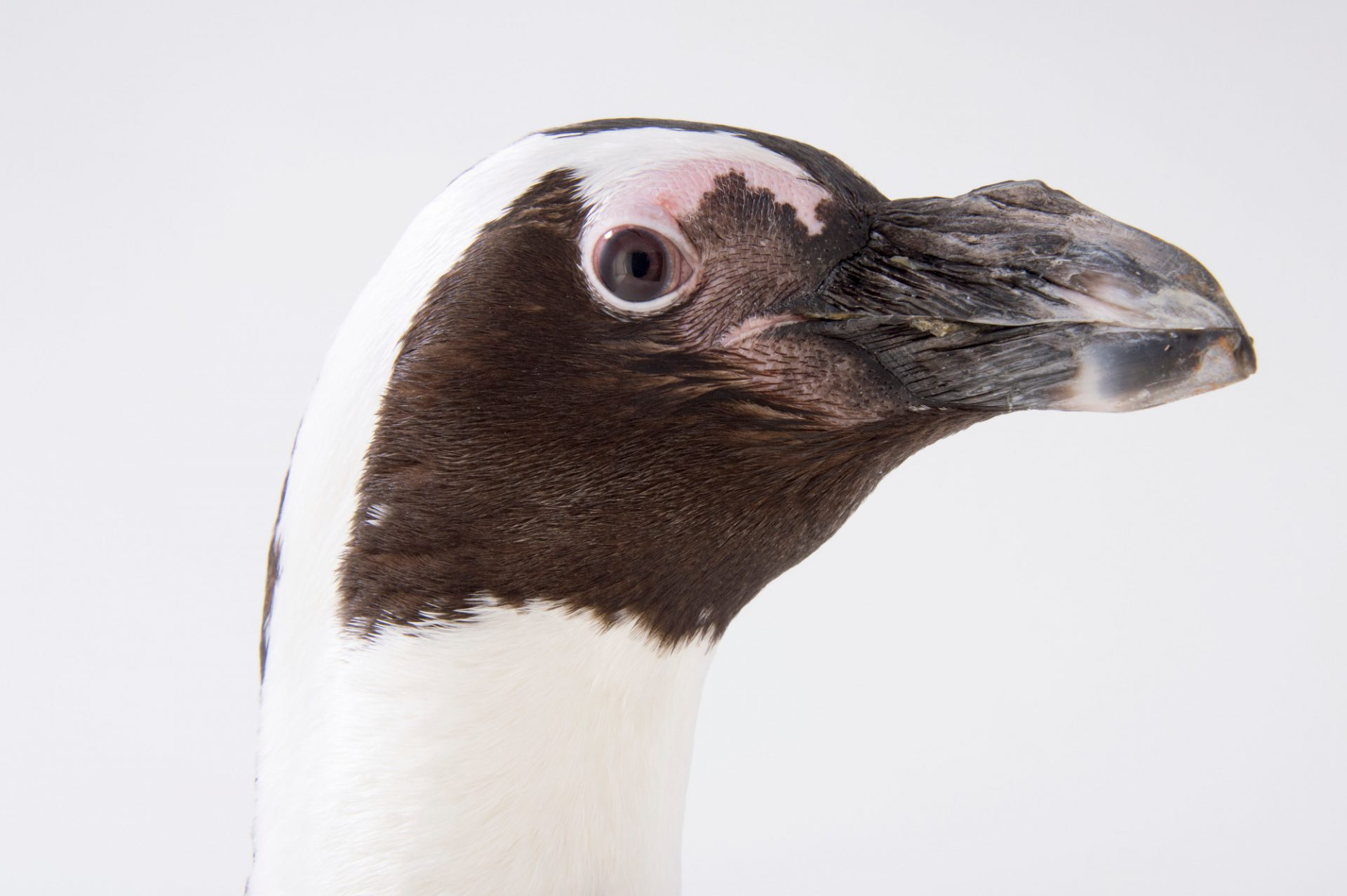 Picture of an endangered African penguin (Spheniscus demersus) at the Monterey Bay Aquarium.