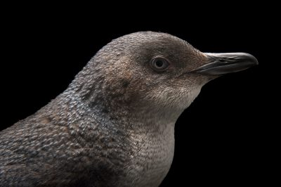 Picture of a little blue penguin (Eudyptula minor) at SPCA Bird Wing, a bird rehab center in Auckland, New Zealand.