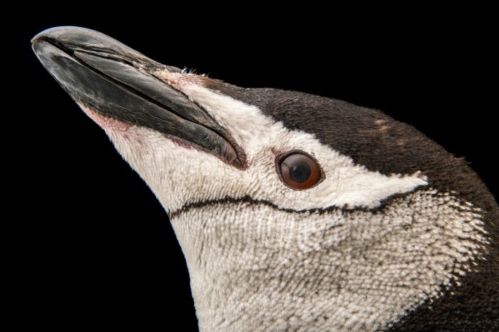 Picture of a chinstrap penguin (Pygoscelis antarcticus) at the Newport Aquarium.