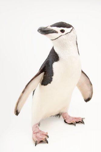 Picture of a chinstrap penguin (Pygoscelis antarcticus) at the Newport Aquarium.