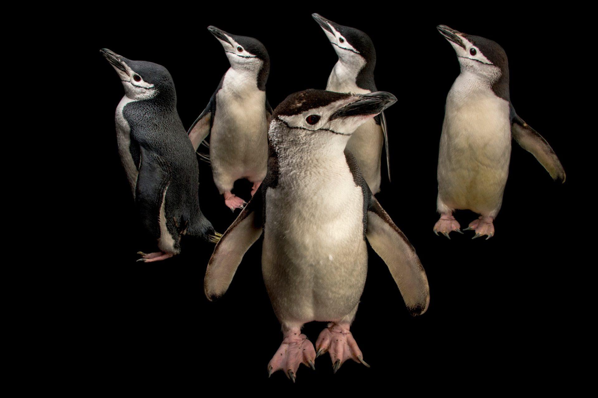 Picture of chinstrap penguins (Pygoscelis antarcticus) at the Newport Aquarium.