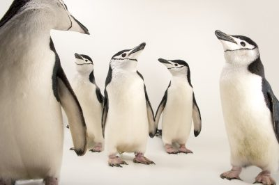 Picture of chinstrap penguins (Pygoscelis antarcticus) at the Newport Aquarium.