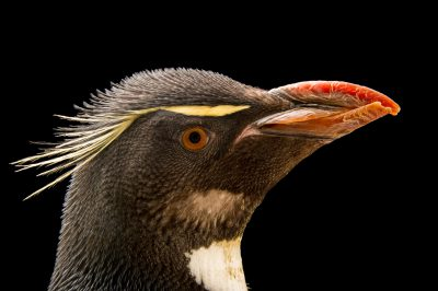 Picture of a vulnerable (IUCN) and federally threatened Southern rockhopper penguin (Eudyptes chrysocome chrysocome) at the Newport Aquarium.