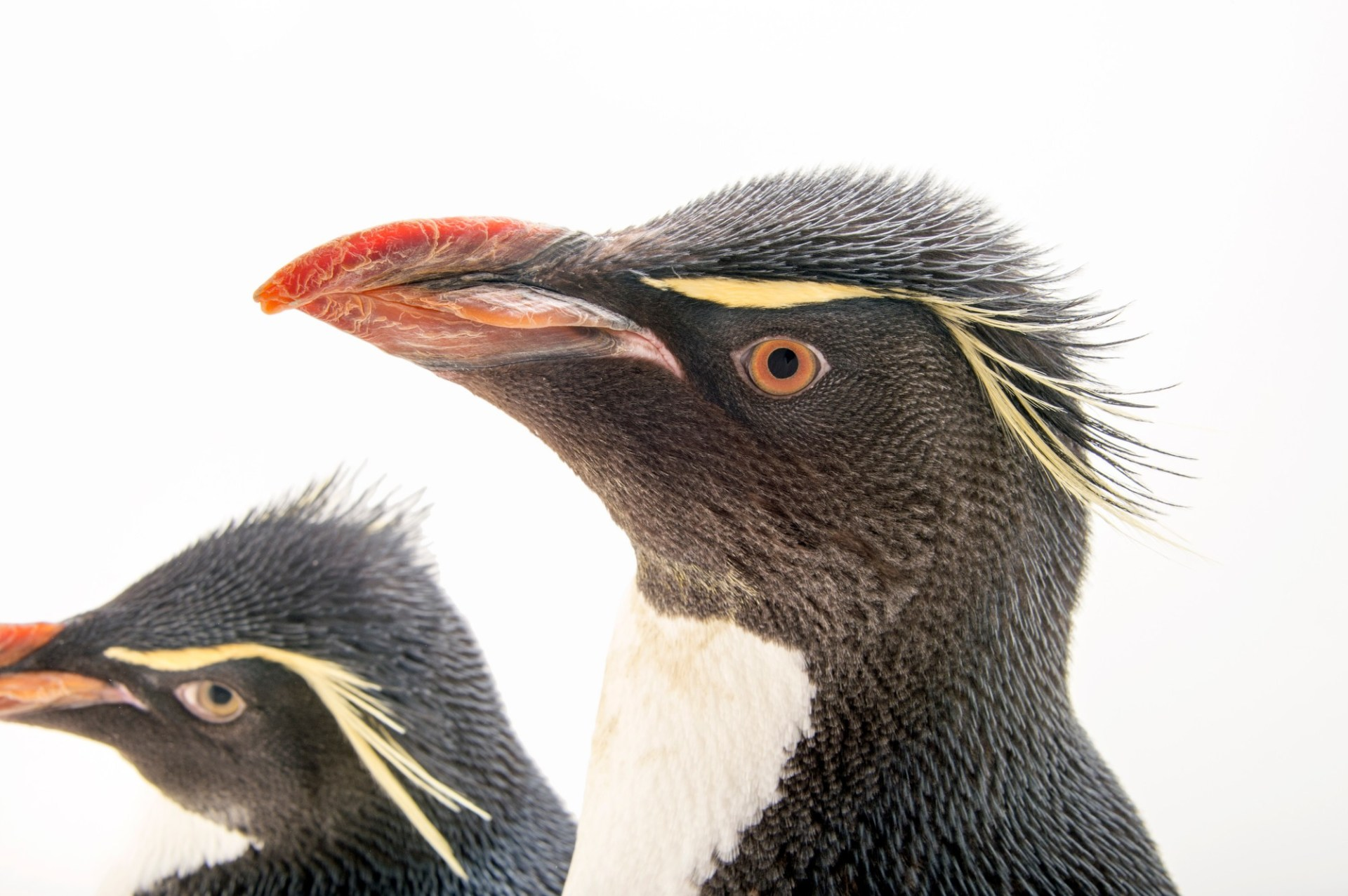 Picture of vulnerable (IUCN) and federally threatened Southern rockhopper penguins (Eudyptes chrysocome chrysocome) at the Newport Aquarium.