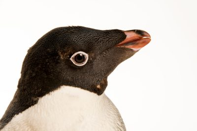 Photo: An Adelie penguin (Pygoscelis adeliae) at the Faunia zoo in Madrid, Spain.