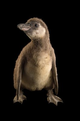 Photo: Juvenile Humboldt's penguin (Spheniscus humboltdi) from Le Parc des Oiseaux in Villars Les Dombes, France.