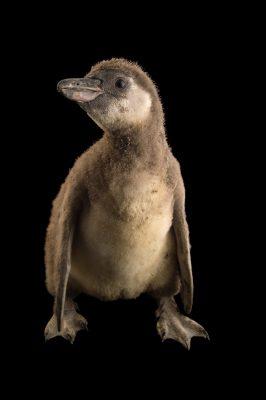 Photo: Juvenile Humboldt's penguin (Spheniscus humboltdi) from Le Parc des Oiseaux in Villars Les Dombes, France.