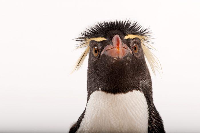 Photo: A Southern rockhopper penguin (Eudyptes chrysocome).