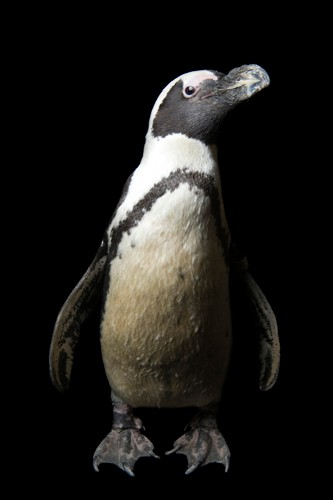 Photo: An endangered African penguin (Spheniscus demersus), aka a black-footed penguin or jackass penguin, at the Hogle Zoo in Salt Lake City.