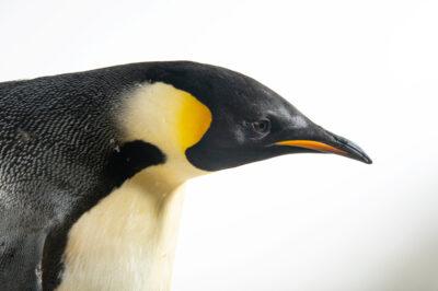 Photo: An emperor penguin (Aptenodytes forsteri) at SeaWorld San Diego.