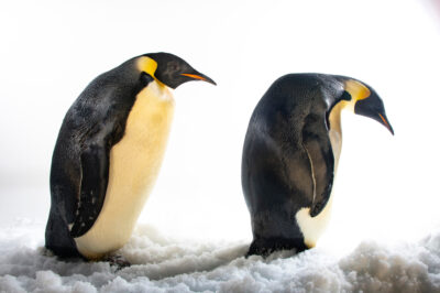 Photo: Two emperor penguins (Aptenodytes forsteri) at SeaWorld San Diego.