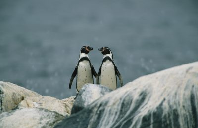 Photo: A pair of Humboldt or Peruvian penguins (Spheniscus humboldti) on a rocky shore.