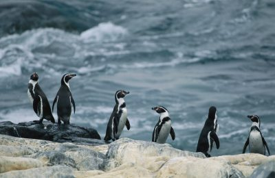 Photo: Humboldt or Peruvian penguins (Spheniscus humboldti) on a rocky shore.