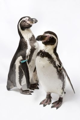 Photo: Humboldt penguins (Spheniscus humboldti) at Great Plains Zoo.