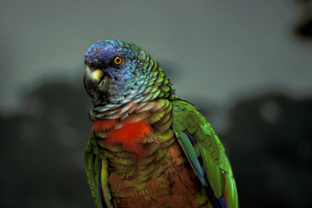 Photo: The St. Lucia parrot (captive) in St. Lucia.