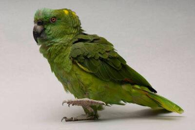 A yellow-naped Amazon parrot (Amazona auropalliata auropalliata) at the Sedgwick County Zoo.