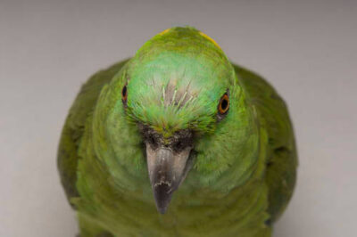 A yellow-naped Amazon parrot (Amazona auropalliata auropalliata) at the Sedgwick County Zoo.