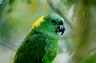Photo: Yellow-naped Amazon parrot at the Sedwick County Zoo.