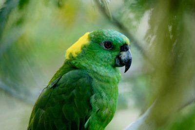 Photo: Yellow-naped Amazon parrot at the Sedwick County Zoo.