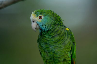 Photo: Yellow-shouldered Amazon parrot at the Sedwick County Zoo.