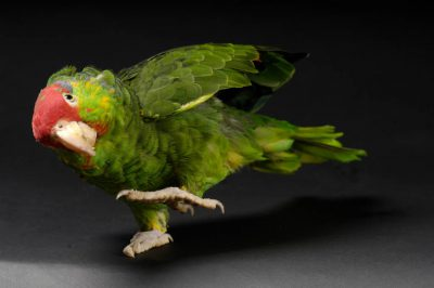 Photo: A green-cheeked, or red-crowned, Amazon parrot (Amazona viridigenalis) at the Kansas City Zoo.