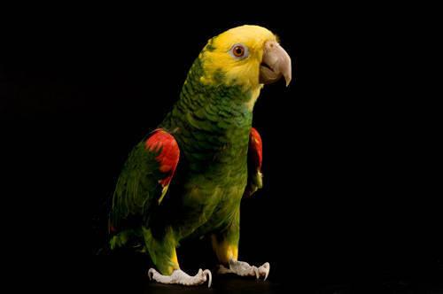 Photo: A yellow-headed Amazon parrot (Amazona oratrix oratrix) at the Kansas City Zoo.