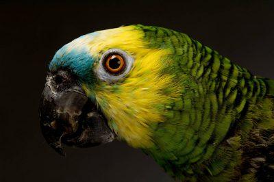 Photo: A blue-fronted Amazon parrot (Amazona aestiva xanthopteryx) at the Kansas City Zoo.