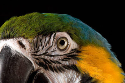 Picture of a blue and yellow macaw (Ara ararauna) at the Kansas City Zoo.