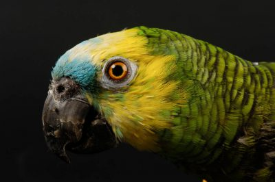 Photo: A blue-fronted Amazon parrot (Amazona aestiva xanthopteryx) at the Kansas City Zoo.