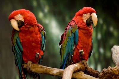 Green winged macaws (Ara chloropterus) from the Kansas City Zoo.