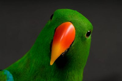 Picture of a male grand eclectus parrots (Eclectus roratus roratus) at the Cheyenne Mountain Zoo.