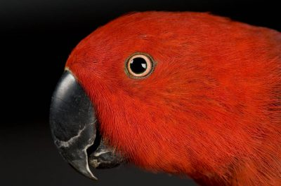 Picture of a female grand eclectus parrots (Eclectus roratus roratus) at the Cheyenne Mountain Zoo.
