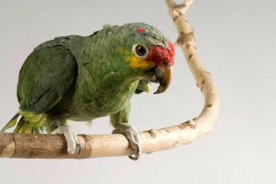 Red-lored Amazon parrot (Amazona autumnalis autumnalis) at the Bramble Park Zoo.