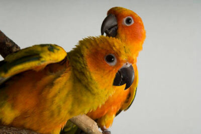 Sun conure (Aratinga solstitialis) at the Bramble Park Zoo.