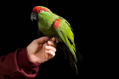 An endangered (IUCN) and federally endangered thick-billed parrot (Rhynchopsitta pachyrhyncha) at the World Bird Sanctuary.