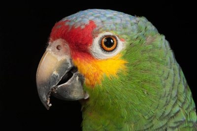 A red-lored Amazon parrot (Amazona autumnalis autumnalis) at the World Bird Sanctuary.