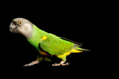 A Senegal parrot (Poicephalus senegalus) at the Sutton Avian Research Center.