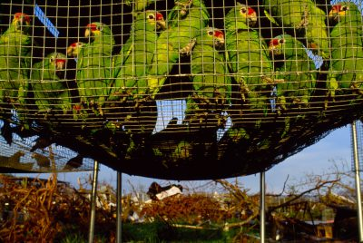 A cage full of red-lored Amazon parrots (Amazona autumnalis) which survived Hurricane Andrew; only two were lost in the storm.