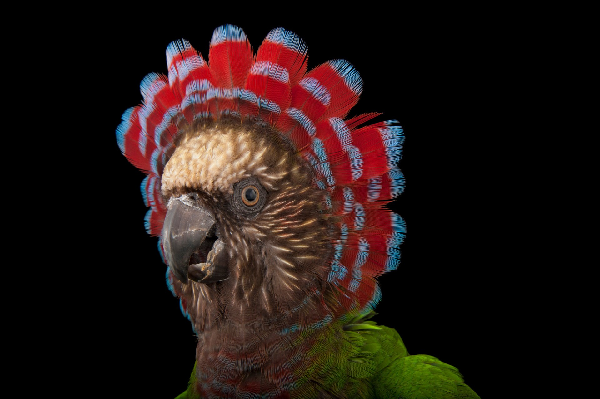 A red fan parrot (Deroptyus accipitrinus accipitrinus) at the Houston Zoo.