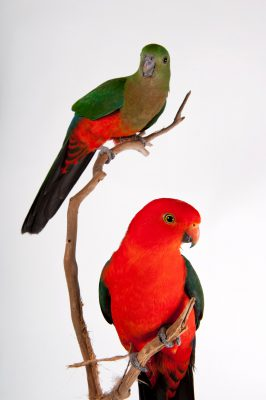 Australian king parrot (Alisterus scapularis) at Parrots in Paradise, a bird attraction in Glass House Mountains, Queensland.