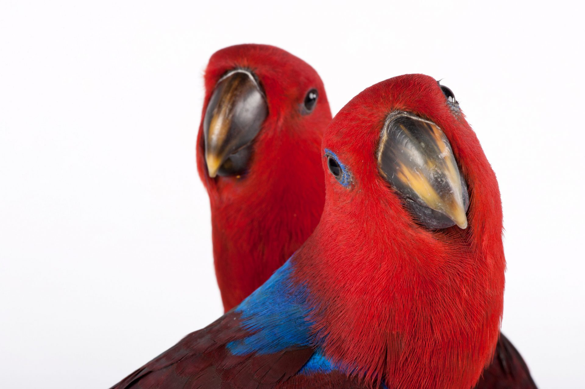 Picture of red-sided eclectus parrots or New Guinea eclectus (Eclectus roratus polychloros) at Parrots in Paradise, a bird attraction in Glass House Mountains, Queensland.